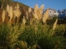 Pampas Grass, Injisuthi_1