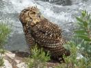 Cape Eagle Owl_1