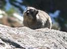Fauna :: Dassie