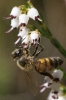 Bee loving this Erica drakensbergensis
